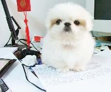 出售纯种京巴幼犬 狗狗品相好 健康保证 质量保证纯
