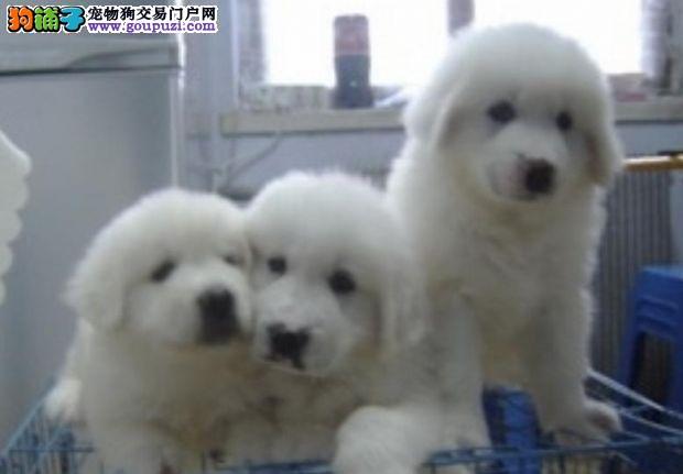 高品质纯种名犬——大白熊可爱销售中!