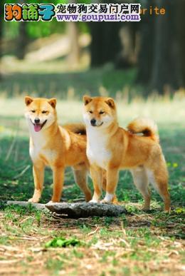 日系纯种高质量柴犬、口碑好、品种纯、血统更好