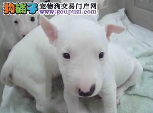 杭州实体店低价促销赛级牛头梗幼犬微信看狗可见父母