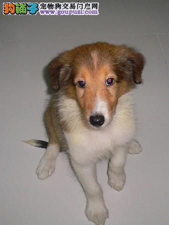出售家养苏格兰牧羊犬,保证纯种和健康,可来家看