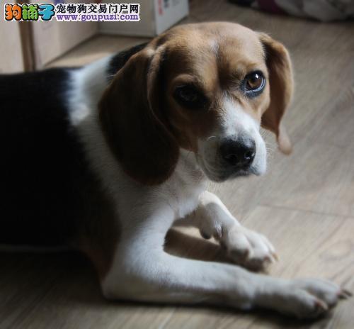 贵阳出售极品比格犬幼犬完美品相国际血统认证