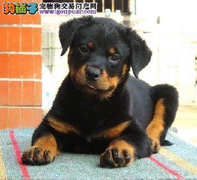出售家养罗威纳生的小狗,品相好,易养活