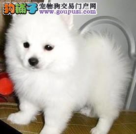 西安实体店低价促销赛级银狐犬幼犬微信看狗真实照片包纯