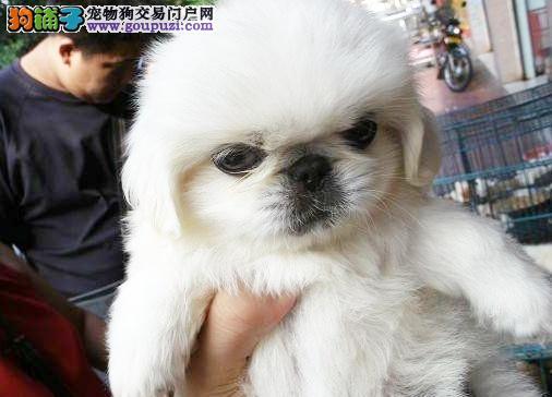 在上海哪里能买到纯种健康的京巴幼犬的
