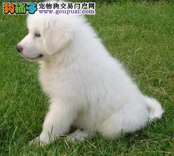 出售纯种自家繁殖大白熊