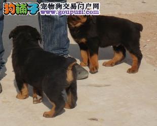 CKU认证犬舍 专业出售极品 罗威纳幼犬狗贩子请勿扰