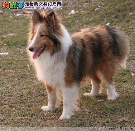 CKU犬舍认证郑州出售纯种喜乐蒂国外引进假一赔百