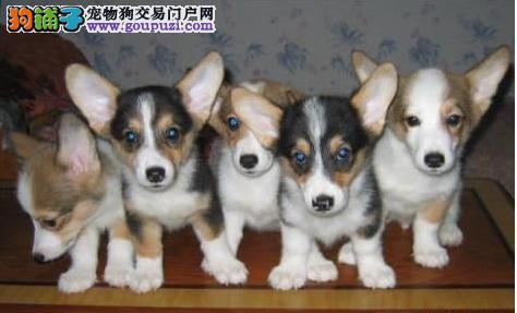 长沙哪里有柯基犬出售 纯种柯基幼犬多少钱一只