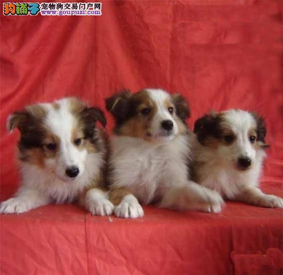 CKU犬舍认证郑州出售纯种喜乐蒂签署各项质保合同