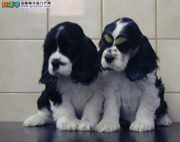 犬舍直销品种纯正健康西安可卡CKU认证品质绝对保障
