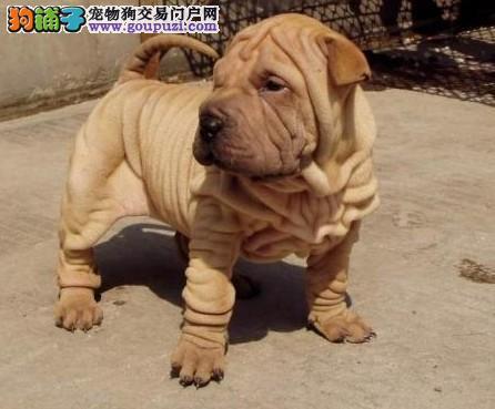 石家庄CKU认证犬舍出售高品质沙皮狗微信咨询看狗