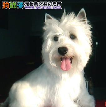 赛级纯种西高地白梗犬幼犬可爱西高地犬公母都有聪慧