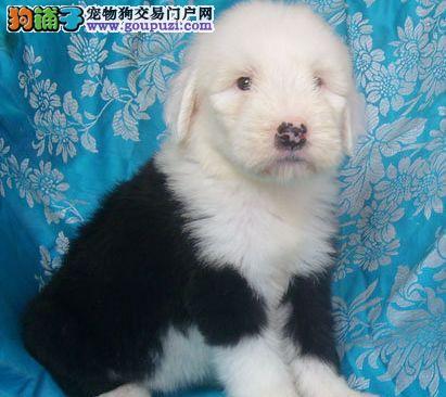正规养殖基地出售古牧幼犬 家养纯种宝宝幼犬