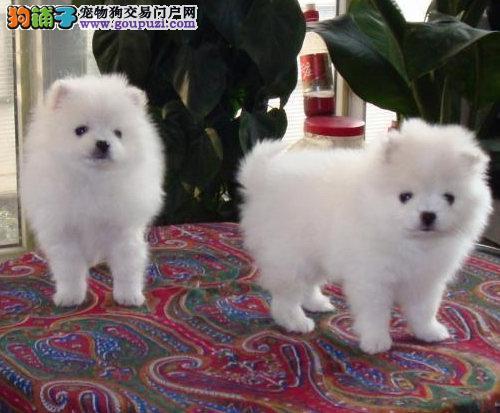 重庆哪里出售家养有银狐狗狗 低价转让 上门优惠8折