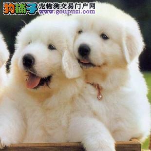 大白熊石家庄最大的正规犬舍完美售后终身完善售后服务
