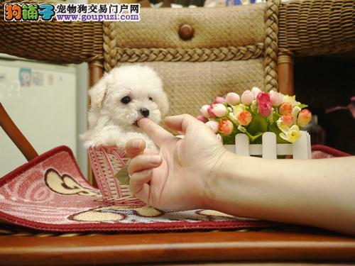 家养白色茶杯泰迪小狗和微小玩具茶杯犬