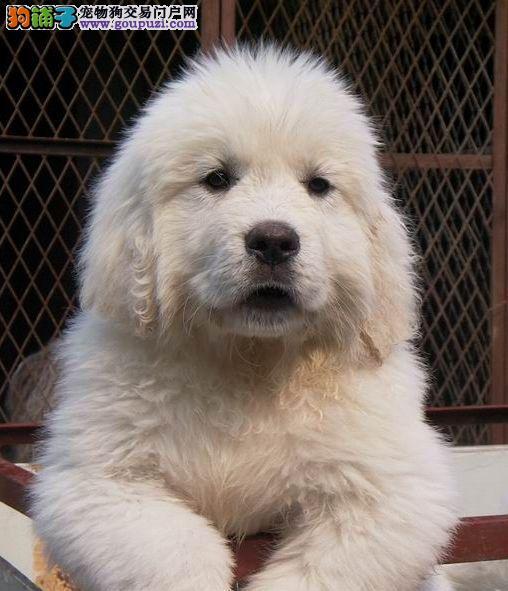 纯种犬繁殖出售赛级大白熊幼犬包纯种