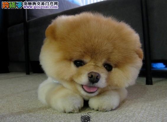 出售纯种京巴幼犬哈巴狗纯白色可鉴定有证书芯片包