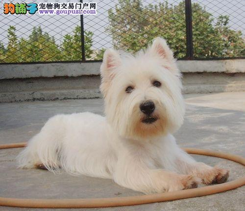 西高地犬-纯种-西高地幼犬-西高地白梗犬 包键康