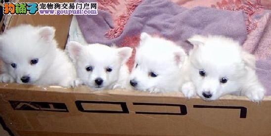 专业繁殖高品质赛级银狐犬,顶级品质 健康第一 可视频