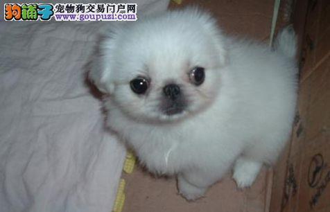 成都成华区哪里有卖京巴犬的 京巴犬多少钱一只