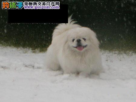 京巴犬幼犬 京巴纯种幼犬 京巴狗保健康可签协议