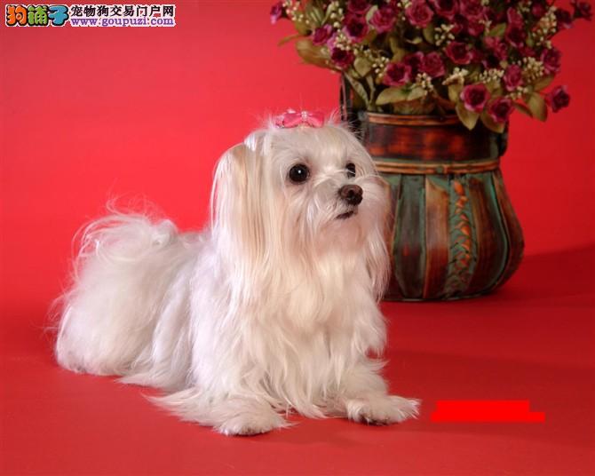出售纯种马尔济斯犬 马尔济斯犬照片