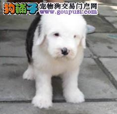 犬舍直销血统纯正古牧宝宝——CKU认证犬业。