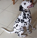 大型狗场,高品质斑点犬,质保三年,签协议保健康