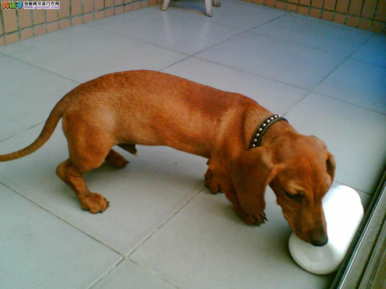 福州养殖场直销完美品相的腊肠犬CKU认证品质绝对保障