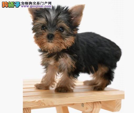 出售聪明可爱的约克夏幼犬 超小型的哦