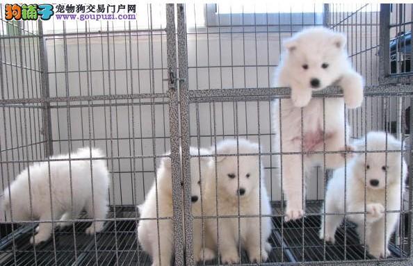 银狐犬 玩赏宠物活泼可爱 疫苗齐全健康协议签订