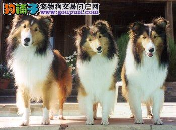 出售纯种喜乐蒂幼犬健康品质保证