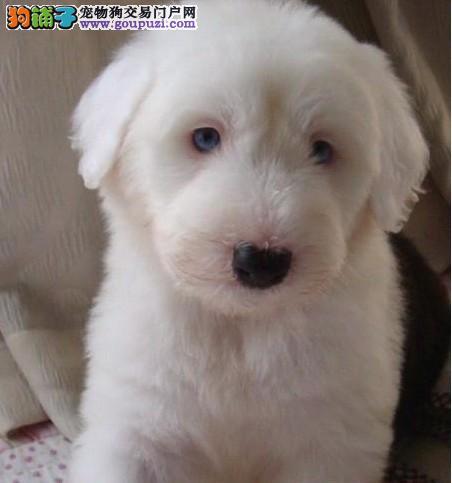 古牧白头黑背极品幼犬开始出售 签协议赠喂养手册