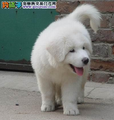 大白熊中的极品白雪公主出售