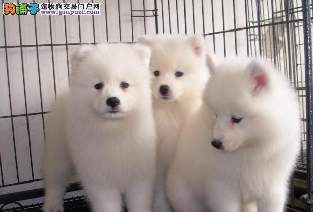 出售家养纯种尖嘴宝宝幼犬,包健康,包血统