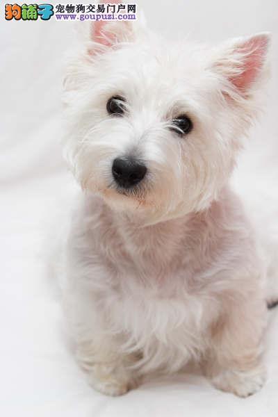 广州西高地狗西高地幼犬纯种西高地狗狗出售