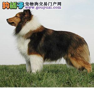专业养殖纯种极品喜乐蒂幼犬、品质保证欢迎选购