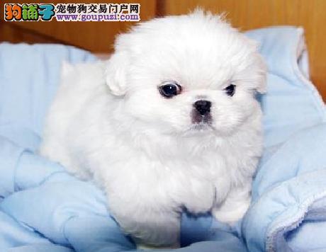 专业繁殖纯种京巴幼犬,赛级血统,可随时视频,可送货