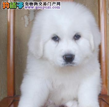 纯种大白熊幼犬品相好 高大威猛