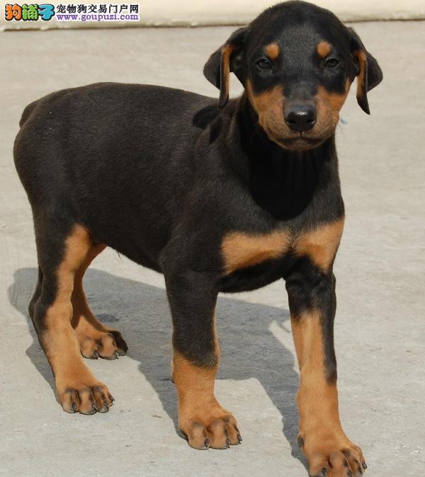 火爆。出售杜宾幼犬极品德系杜宾幼犬