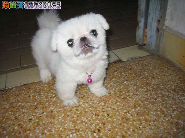 哪里有卖京巴犬的 出售京巴犬出售 价格合理