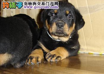 南京哪里有卖罗威纳犬的 纯种罗威纳犬多少钱一只