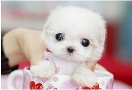 合肥哪里出售长不大的袖珍犬/茶杯狗狗袖珍幼犬/包纯种