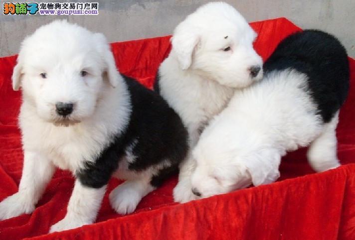 出售纯种古代牧羊犬宝宝 品质保证