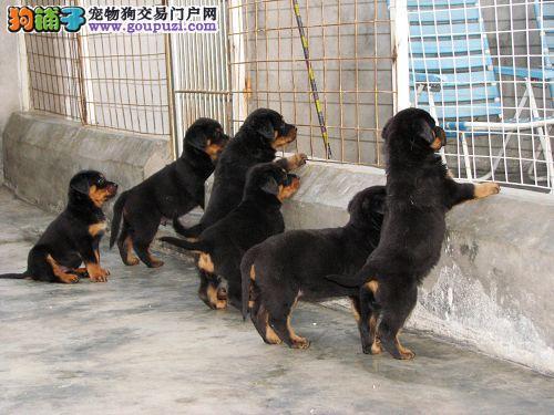正规狗场出售纯种罗威纳宝宝 欢迎选购