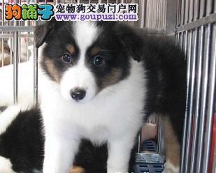 基地低价出售喜乐蒂幼犬可上门选购,终身售后