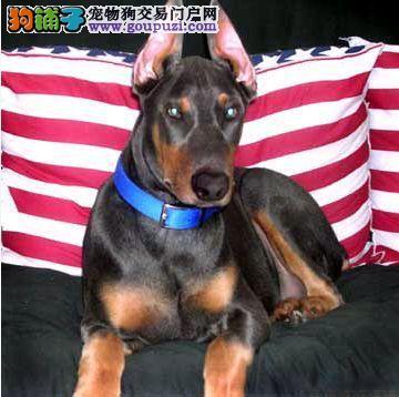 杜宾犬 纯种犬 德系高大 威猛的杜宾犬