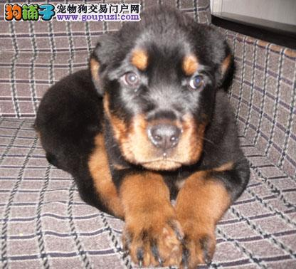 哪里有卖罗威纳犬的 出售罗威那犬出售 价格合理